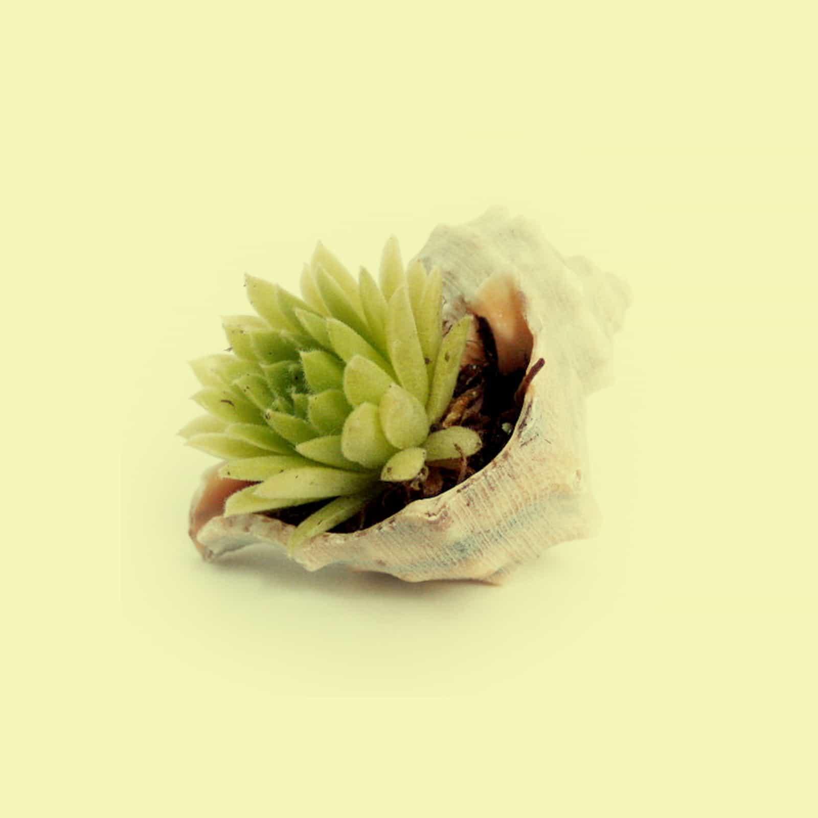diango_hernandez_seashell-1.jpg